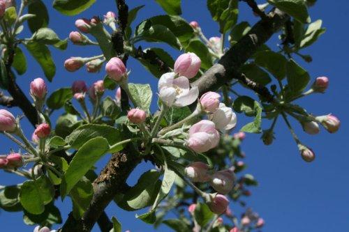 Die Apfelblüte beginnt