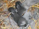Kaninchenjunge