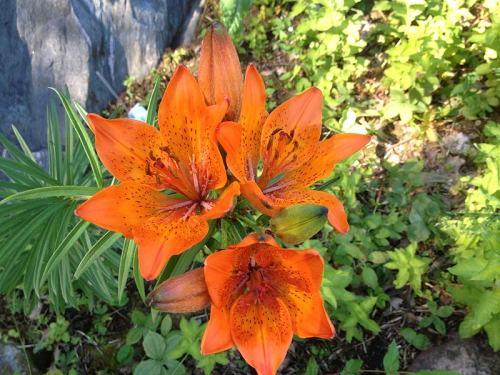 Lilie in unserem Garten