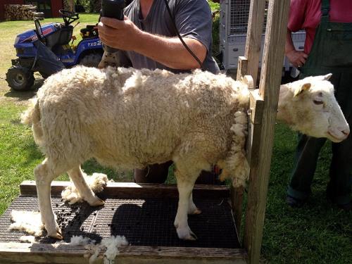 Ein Schaf wird geschoren