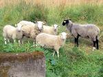 Unsere Schafe testen unsere runde Wiese