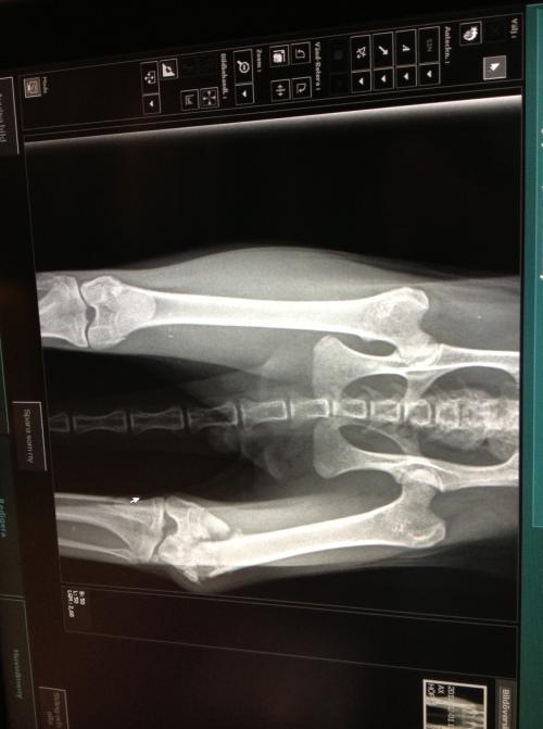Röntgenbild der Hinterläufe von Fuzzy