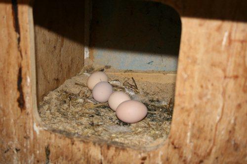 Vier Eier in einem Hühnernest.