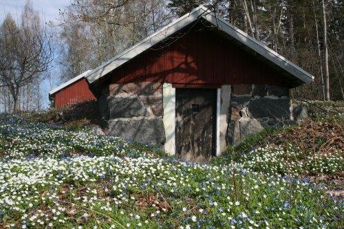 Weiße und blaue Frühlingsblüher vor dem Erdkeller