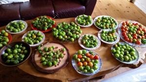 Tomaten-Ernte