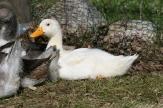 Unsere erste weiße Ente