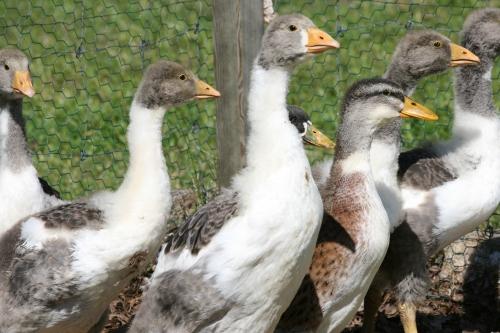 Gänse und Enten