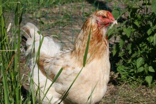 Huhn Erna